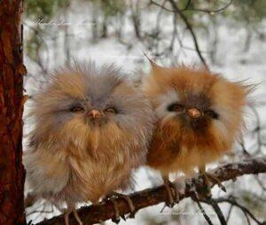 baby-owls